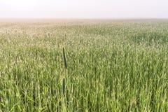 Ett dimmigt vetefält för morgon på våren, Kiev region, Ukraina fotografering för bildbyråer