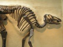 Ett dinosaurieskelett Royaltyfria Bilder