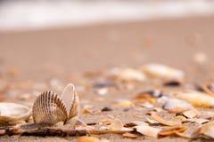 Ett dubbelt härligt skal i mitt av kusten som är söndersliten med utslagna skal Arkivfoton