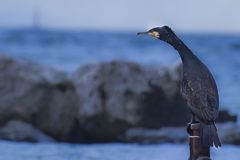Ett egentligen nätt slut upp skott av en kormoran royaltyfria foton