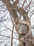 Ett ekorresammanträde på trädet Arkivfoton