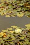 Ett elegant damm för lotusblommablomma arkivbild