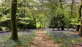 Ett engelskt Bulebell trä Arkivbilder