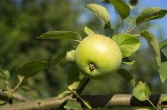 Ett enkelt grönt äpple på en tjock filial Royaltyfri Bild
