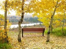 Ett enkelt parkerar bänken mellan träd för den vita björken med ljusa gula sidor royaltyfria bilder