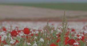 Ett enormt fält av att blomma röda vallmo på en härlig bakgrund stock video