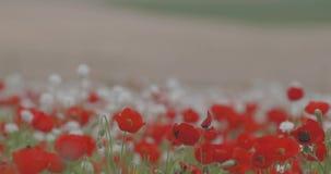 Ett enormt fält av att blomma röda vallmo på en härlig bakgrund lager videofilmer