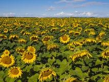 Ett enormt fält av solrosor Arkivbilder