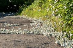 Ett enormt nummer av fjärilskål med vita vingar parkerar in och skogar i sommaren Royaltyfri Foto