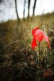 Ett ensamt rött blad i höstskogen Royaltyfri Fotografi
