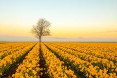 Ett ensamt träd med påskliljor på en dimmig morgon arkivfoto