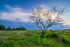 Ett ensamt träd på fältet Arkivfoton