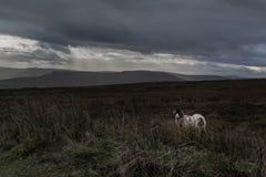 Ett ensligt får på en blek hed fotografering för bildbyråer