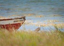 Ett eurasianspovanseende under ett fartyg fotografering för bildbyråer
