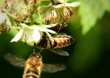 Ett europeiskt honungbi, apismelliferaen, sammanträde och pollinerad blom av hallonet och annat biflyg in i blom för tjänar någon royaltyfri foto
