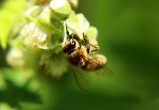Ett europeiskt honungbi pollinerade blom av hallonet i tjeckiska grässlättar Kroppen är full av pollen arkivfoto
