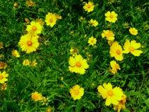 Ett fält av att blomma för aster Arkivbild