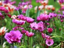 Ett fält av blommande rosa anemoner Royaltyfria Bilder