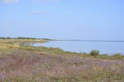 Ett fält av blommiga puurpurblommor vid havet fotografering för bildbyråer
