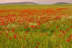 Ett fält av blomningvallmo och Pienza i bakgrunden Arkivfoto