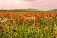 Ett fält av blomningvallmo och Pienza i bakgrunden Fotografering för Bildbyråer