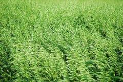 Ett fält av de gröna öronen av vete i en blåsväder Fotografering för Bildbyråer