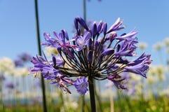 Ett fält av den Triteleia laxaen Royaltyfri Foto