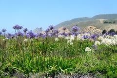 Ett fält av den Triteleia laxaen Royaltyfria Foton