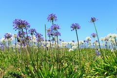 Ett fält av den Triteleia laxaen Arkivbild