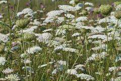 Ett fält av drottningen Annes snör åt Full - Daucuscarota Arkivfoto