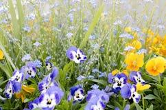 Ett fält av färgrika pansies och glömma-mig-nots royaltyfria bilder