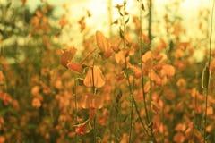Ett fält av guld- blommor i aftonen på naturen Arkivbild