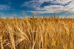 Ett fält av guld- råg under en blå himmel Arkivbilder