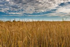 Ett fält av guld- råg under en blå himmel med moln royaltyfria foton