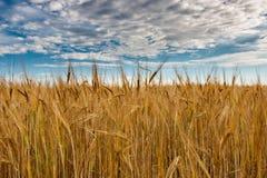 Ett fält av guld- råg under en blå himmel med moln Arkivfoton