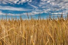 Ett fält av guld- råg under en blå himmel med moln Arkivfoto