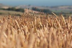 Ett fält av guld- vete och vallmo Royaltyfri Fotografi