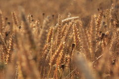 Ett fält av guld- vete och vallmo Fotografering för Bildbyråer