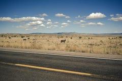 Ett fält av hästar i Death Valley Arkivbilder