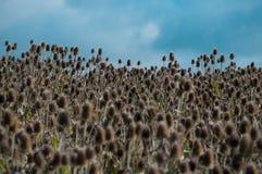 Ett fält av kardtisteln kärnar ur huvud Royaltyfri Foto