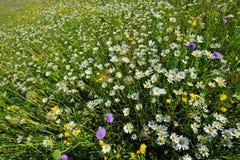 Ett fält av lösa blommor i vår Arkivfoton
