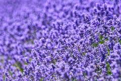 Ett fält av lavanderlavandulaen med den selektiva fokusen, delar avsiktligt ut ur fokusen för emotionella anledningar eller utrym Fotografering för Bildbyråer