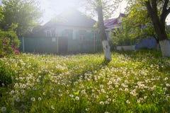 Ett fält av maskrosen framme av det gamla huset Royaltyfri Foto