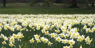 Ett fält av påskliljor. Fotografering för Bildbyråer