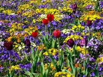 Ett fält av pansies Royaltyfria Bilder
