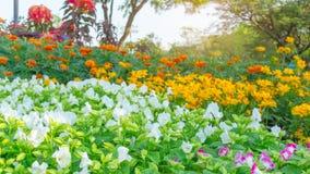 Ett fält av prettty vita kronblad av gaffelbenblomman som blommar på gröna sidor, gult kosmos och orange ringblomma i bakgrund arkivfoto