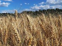 Ett fält av råg och korn Mognad av den agrariska sektoren för framtida skörd av den jordbruks- branschen Växtlantgård Växa av arkivbilder