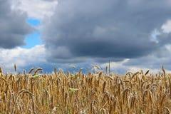 Ett fält av råg och korn Mognad av den agrariska sektoren för framtida skörd av den jordbruks- branschen Växtlantgård Växa av royaltyfria bilder