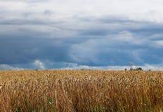 Ett fält av råg och korn på en himmel med mörka moln Mognad av den agrariska sektoren för framtida skörd av den jordbruks- indust arkivfoto