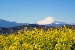 Ett fält av rapsfröt med Mount Fuji Royaltyfria Bilder
